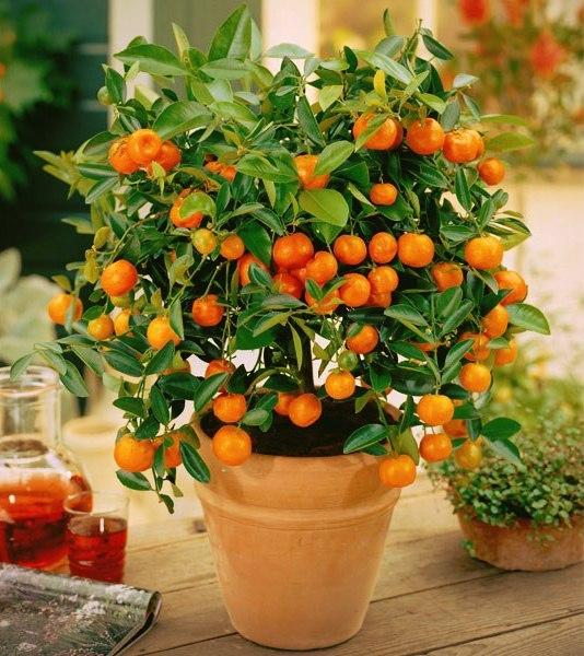 Цветок цитрус