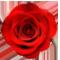 Красная роза