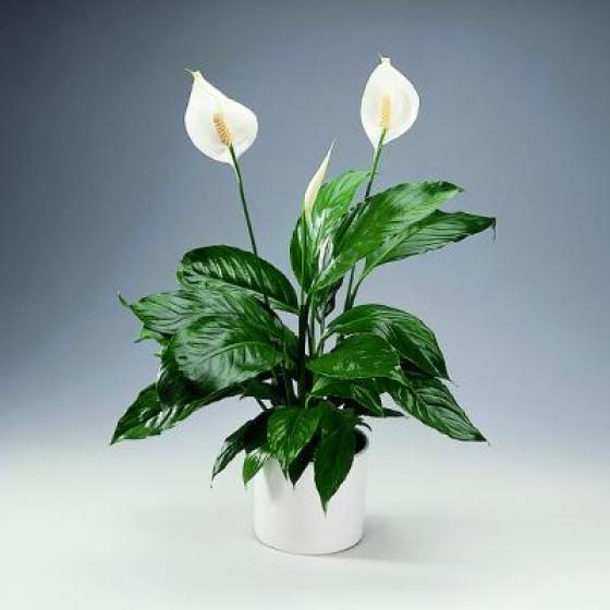 домашние цветы беленькие цветочки и тоненькие листики 1979157479